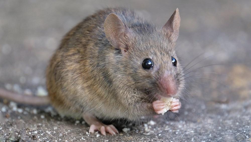 Pozor – izbruh mišje mrzlice
